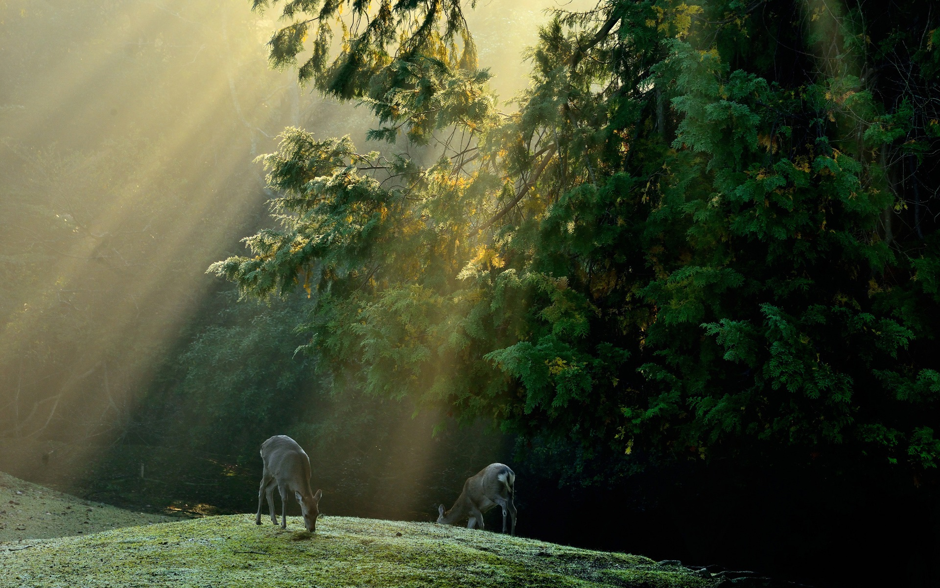 forest_trees_meadow_deer_sun_rays_1920x1200.jpg